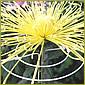 菊栽培用品