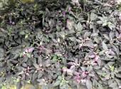 ゴシキトウガラシパープルフラッシュ