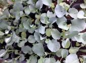クキブロッコリースティックセニョール