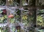 多肉植物 カット苗