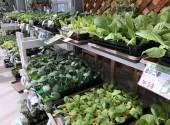 野菜苗各種