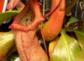 Nepenthes malani (ventricosa x robcantleyi)