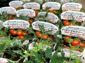 トマト サンマルツァーノ