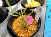 赤花ナガバノイシモチソウ
